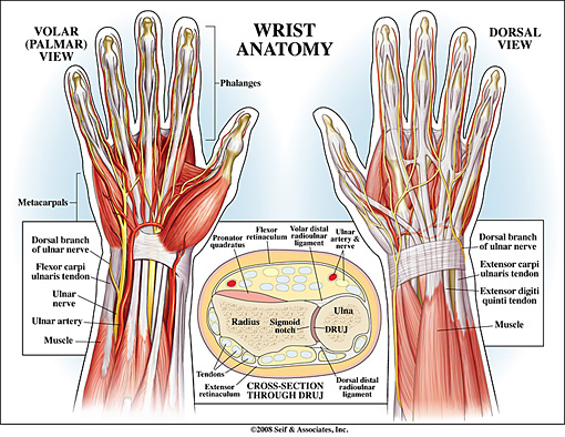 wrist anatomy, Human Body