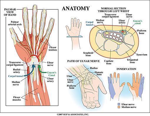 Wrist Anatomy | New York, NY | HandSport Surgery Institute